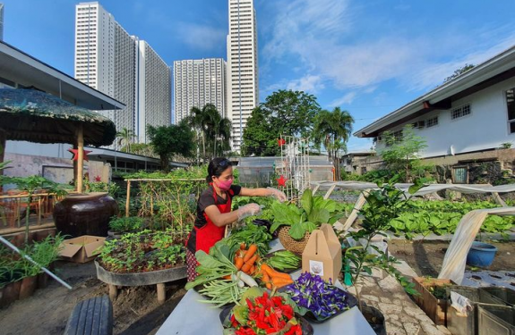 A lady doing urban farming , harvesting leafy vegetables, and red peppers.